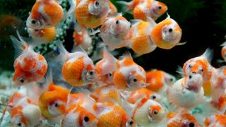 その金魚、白点病につき…。